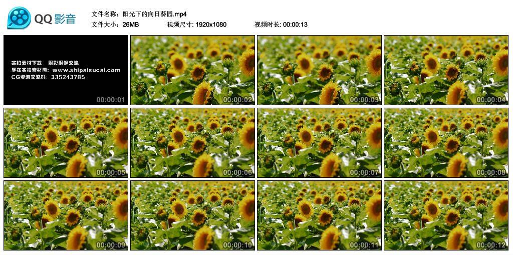 【高清实拍素材】阳光下的向日葵园 视频素材-第1张