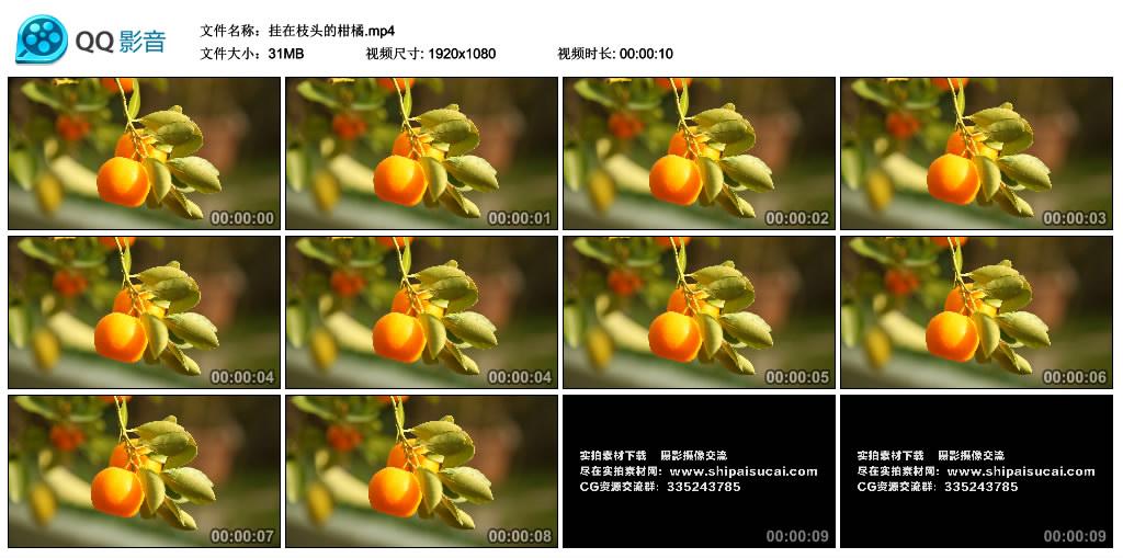 高清实拍视频素材丨挂在枝头的柑橘 视频素材-第1张