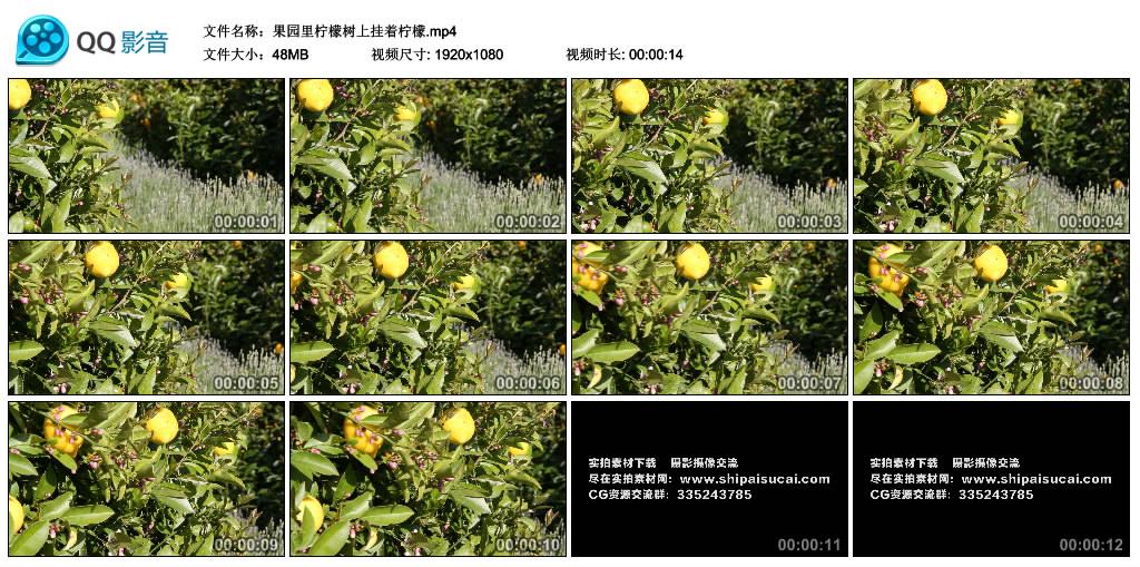 高清实拍视频素材丨果园里柠檬树上挂着柠檬 视频素材-第1张