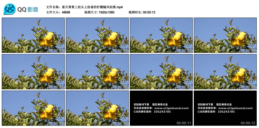 高清实拍视频素材丨蓝天背景上枝头上挂着的柠檬随风轻摆 视频素材-第1张