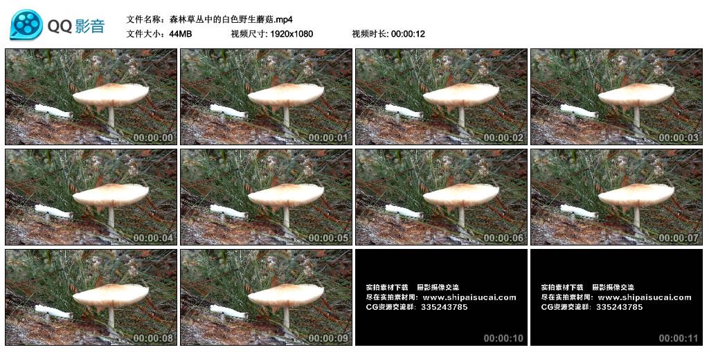 高清实拍视频丨森林草丛中的白色野生蘑菇 视频素材-第1张