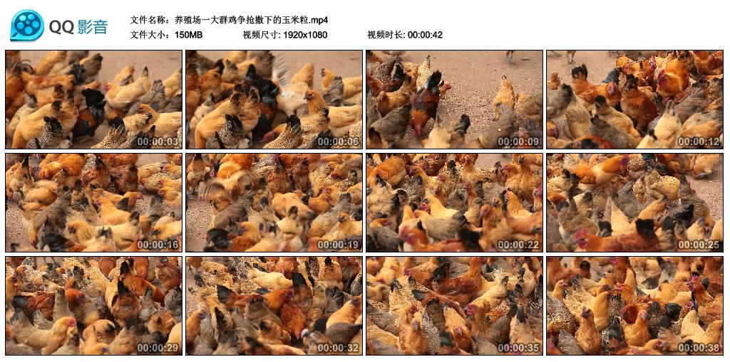 高清实拍视频丨养殖场一大群鸡争抢撒下的玉米粒 视频素材-第1张