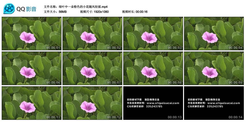 高清实拍视频丨绿叶中一朵粉色的小花随风轻摇 视频素材-第1张