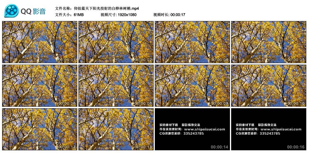 高清实拍视频丨仰拍蓝天下阳光投射的白桦林树梢 视频素材-第1张