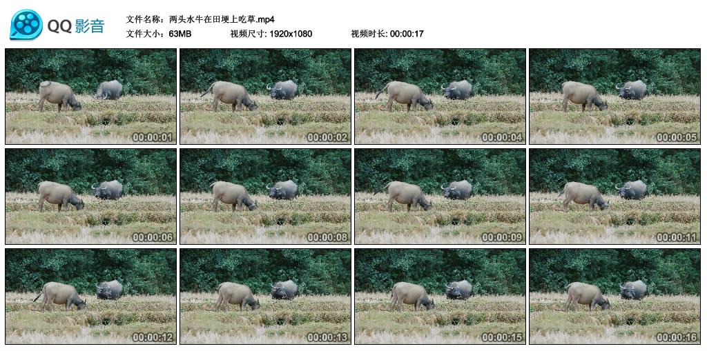 高清实拍视频丨两头水牛在田埂上吃草 视频素材-第1张