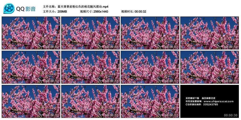 高清实拍视频丨蓝天背景前粉红色的桃花随风摆动 视频素材-第1张