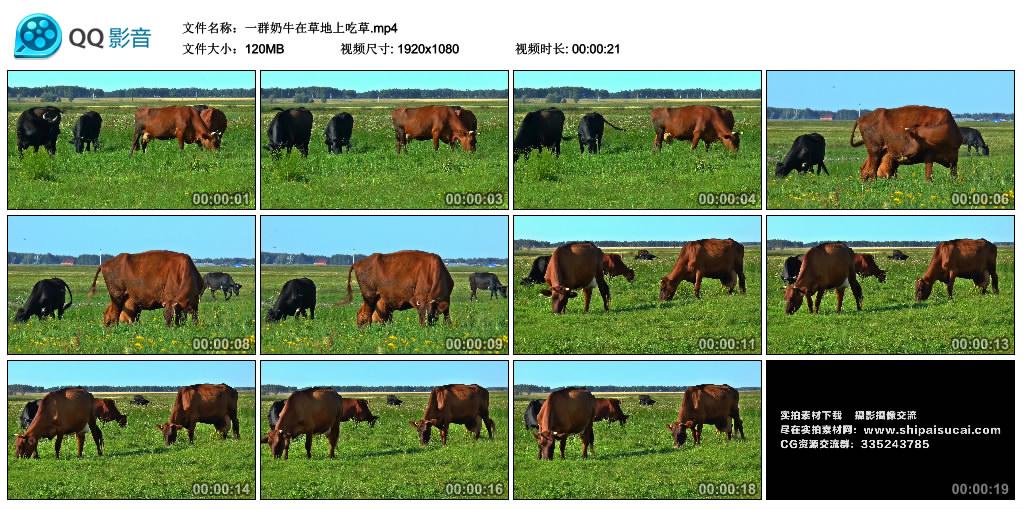 高清实拍视频丨一群奶牛在草地上吃草 视频素材-第1张