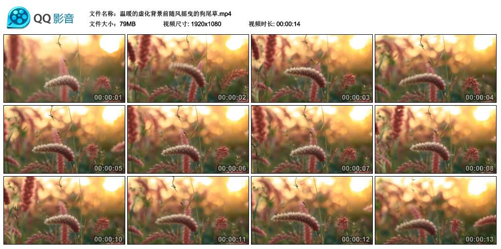 高清实拍视频丨温暖的虚化背景前随风摇曳的狗尾草 视频素材-第1张