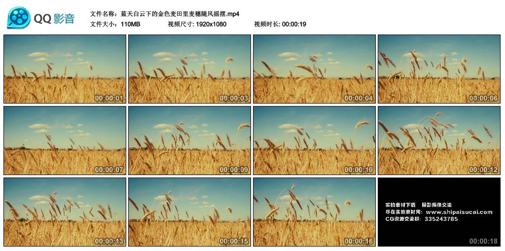 高清实拍视频丨蓝天白云下的金色麦田里麦穗随风摇摆 视频素材-第1张