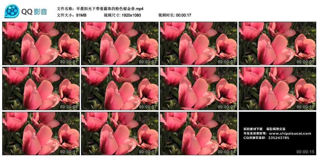 高清实拍视频丨早晨阳光下带着露珠的粉色郁金香 视频素材-第1张
