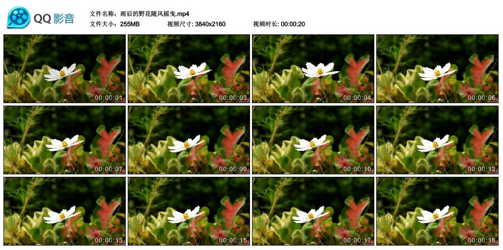 4K视频素材丨雨后的野花随风摇曳 4K视频-第1张