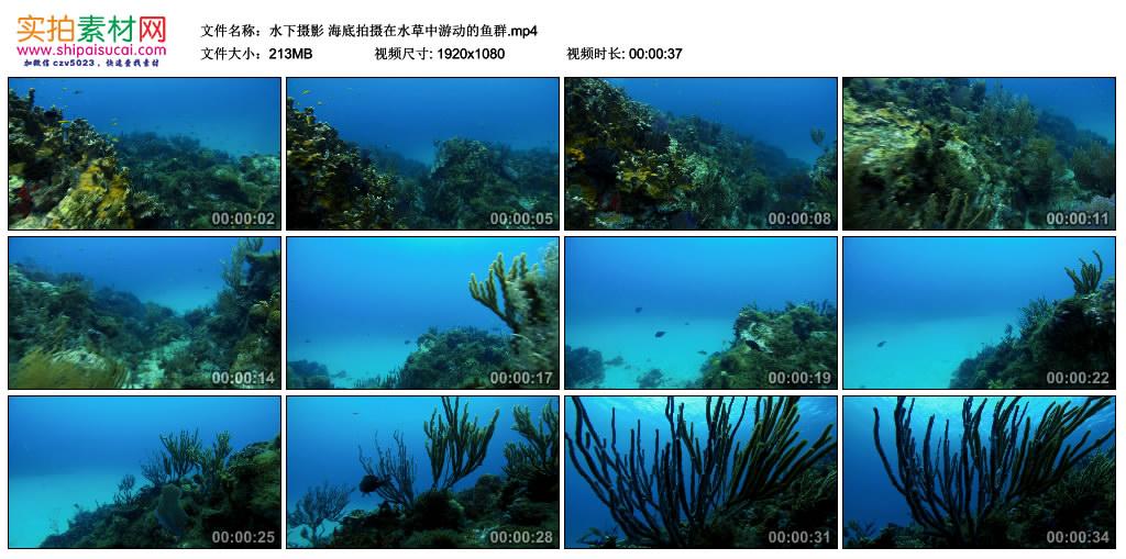 高清实拍视频丨水下摄影 海底拍摄在水草中游动的鱼群 视频素材-第1张