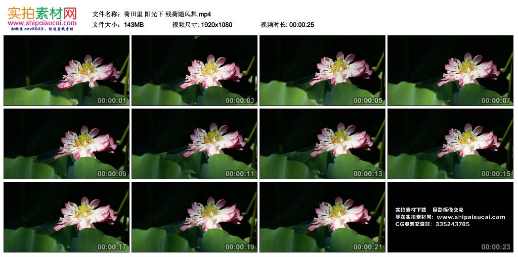 高清实拍视频丨荷田里 阳光下 残荷随风舞 视频素材-第1张