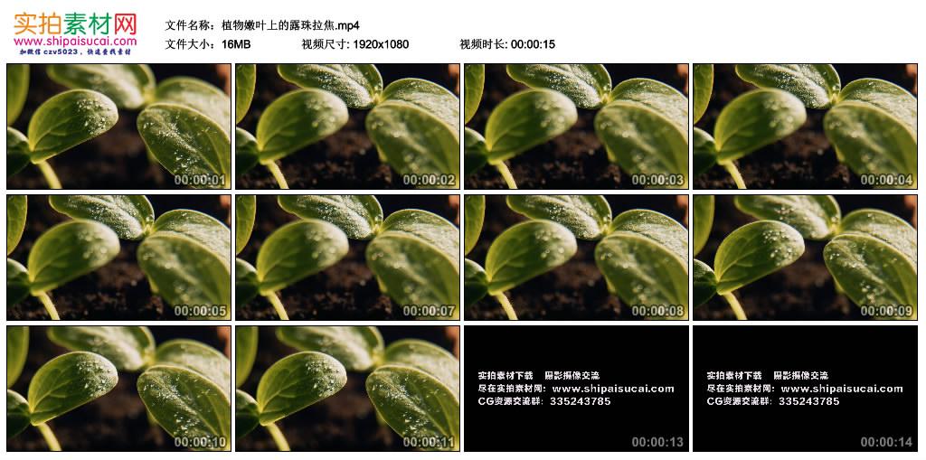 高清实拍视频丨植物嫩叶上的露珠拉焦 视频素材-第1张