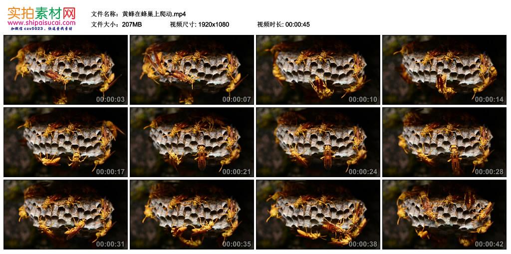 高清实拍视频丨黄蜂在蜂巢上爬动 视频素材-第1张