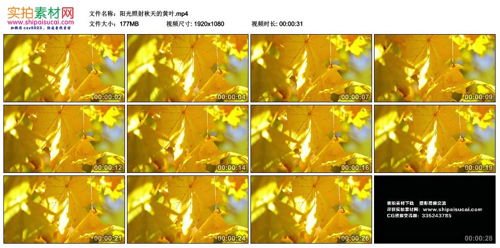 高清实拍视频丨阳光照射秋天的黄叶 视频素材-第1张