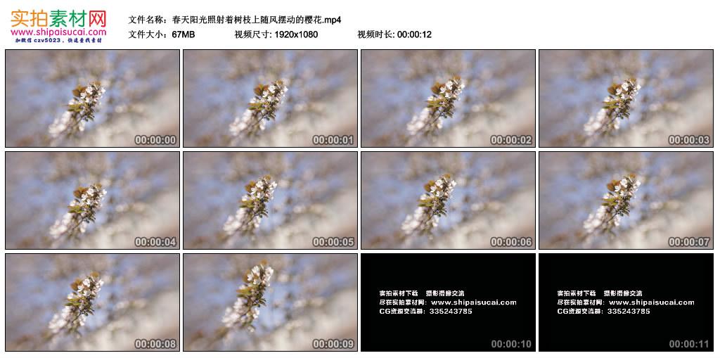 高清实拍视频丨春天阳光照射着树枝上随风摆动的樱花 视频素材-第1张