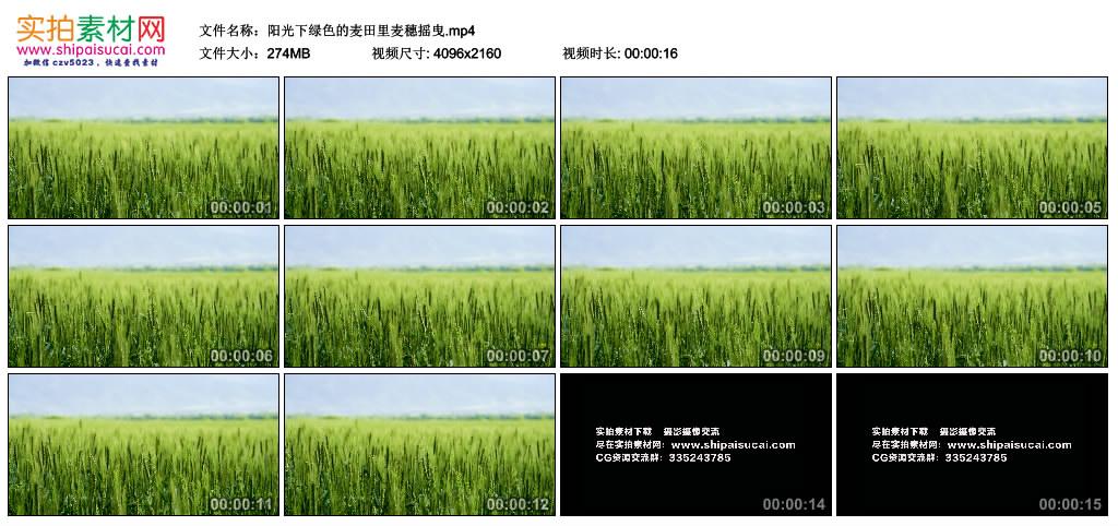4K视频素材丨阳光下绿色的麦田里麦穗摇曳 4K视频-第1张