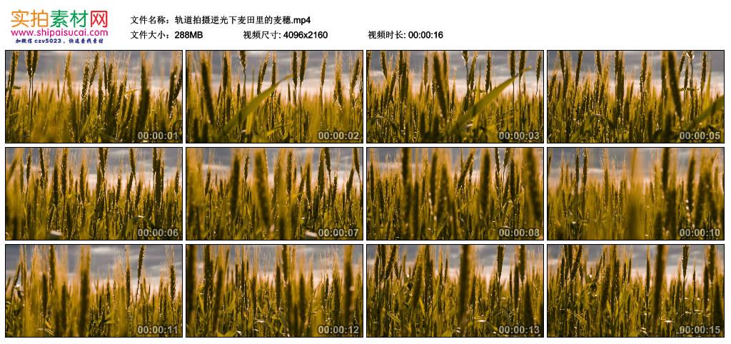 4K视频素材丨轨道拍摄逆光下麦田里的麦穗 4K视频-第1张
