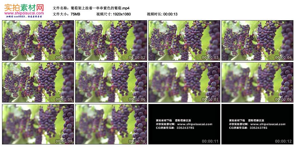 高清实拍视频丨葡萄架上挂着一串串紫色的葡萄 视频素材-第1张