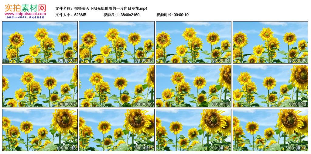 4K实拍视频素材丨摇摄蓝天下阳光照射着的一片向日葵花 4K视频-第1张