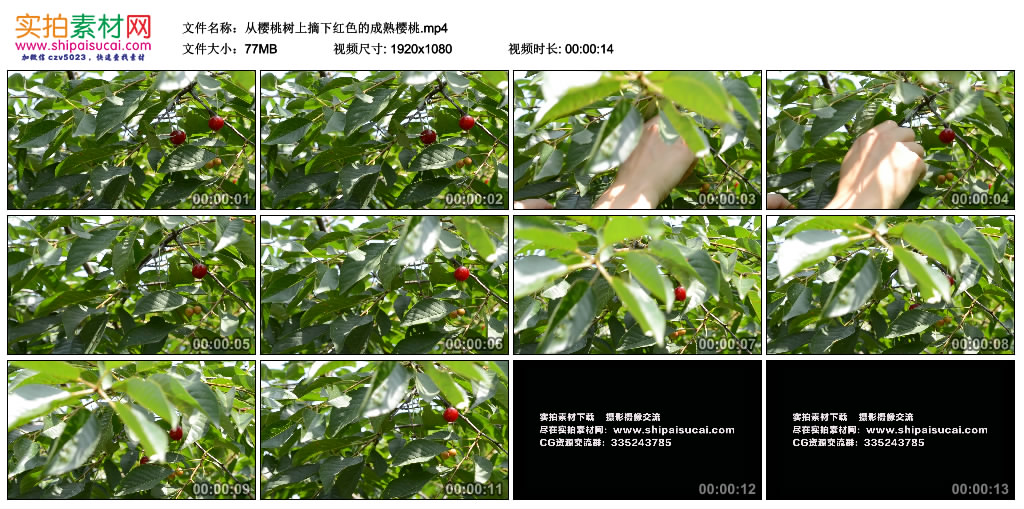 高清实拍视频素材丨从樱桃树上摘下红色的成熟樱桃 视频素材-第1张