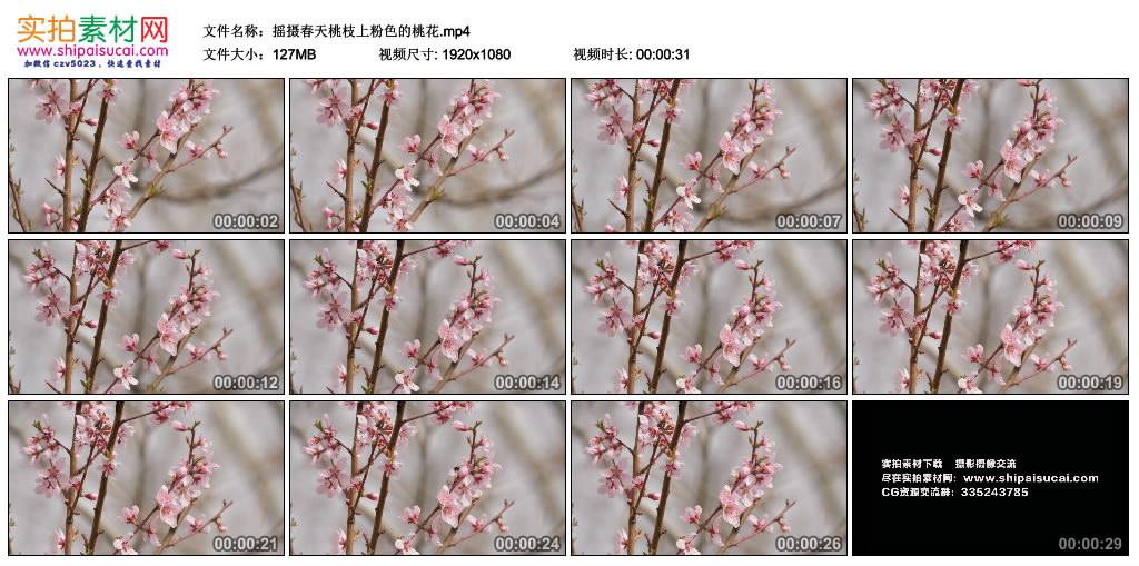 高清实拍视频素材丨摇摄春天桃枝上粉色的桃花 视频素材-第1张