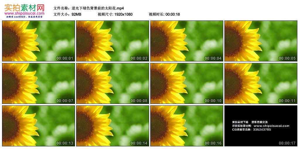 高清实拍视频素材丨逆光下绿色背景前的太阳花 视频素材-第1张