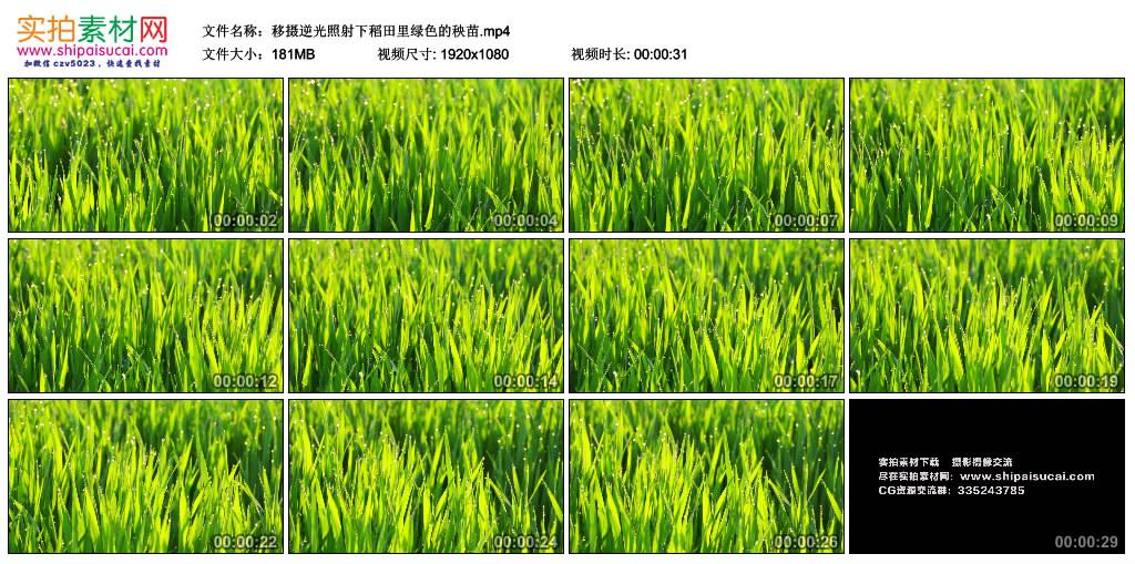 高清实拍视频素材丨移摄逆光照射下稻田里绿色的秧苗 视频素材-第1张