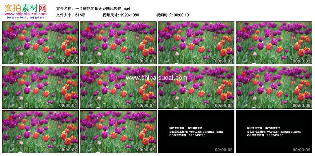 高清实拍视频素材丨一片鲜艳的郁金香随风轻摆 视频素材-第1张