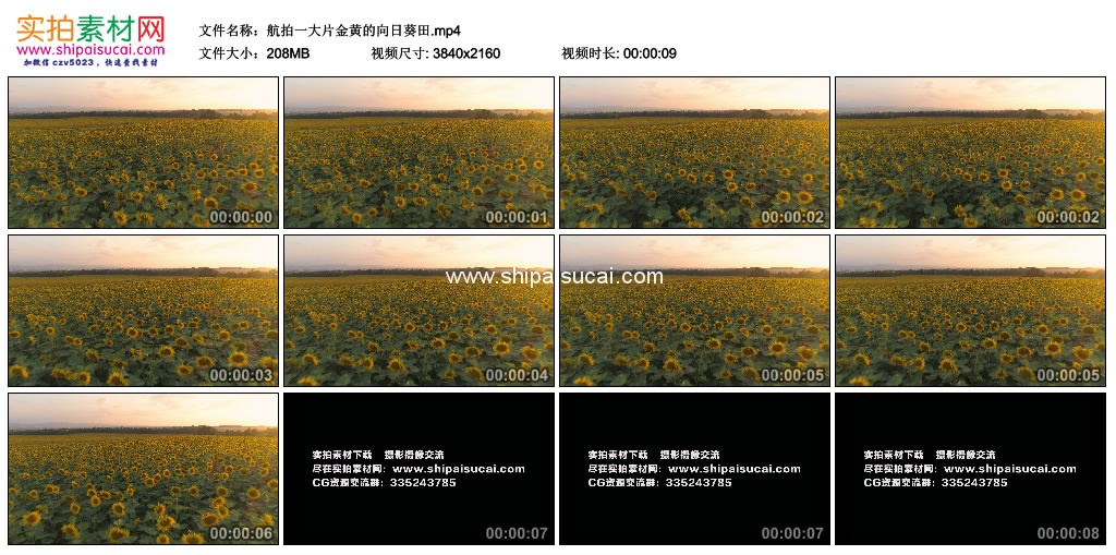 4K实拍视频素材丨航拍一大片金黄的向日葵田 4K视频-第1张