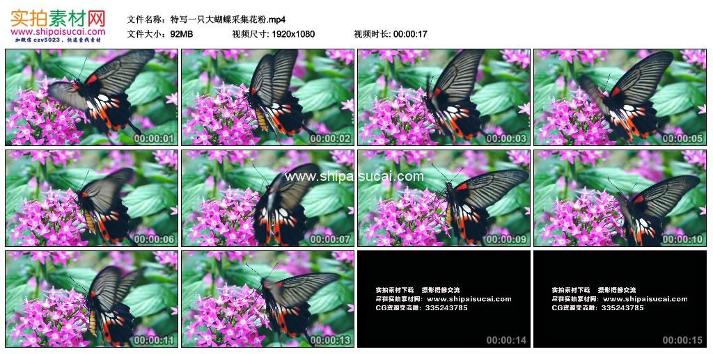 高清实拍视频素材丨特写一只大蝴蝶采集花粉 视频素材-第1张