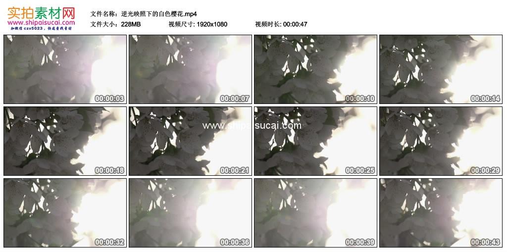 高清实拍视频素材丨逆光映照下的白色樱花 视频素材-第1张
