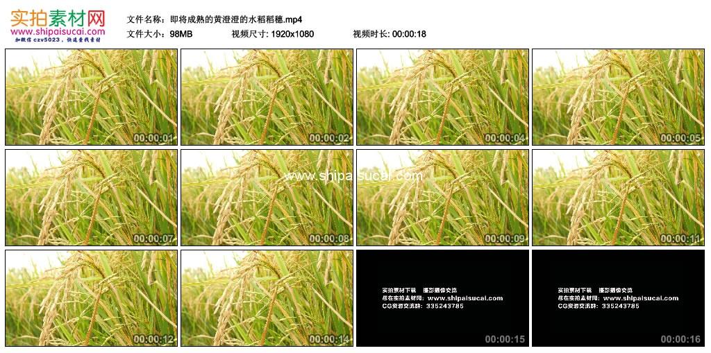 高清实拍视频素材丨即将成熟的黄澄澄的水稻稻穗 视频素材-第1张