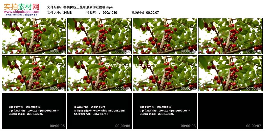 高清实拍视频素材丨樱桃树枝上挂着累累的红樱桃 视频素材-第1张