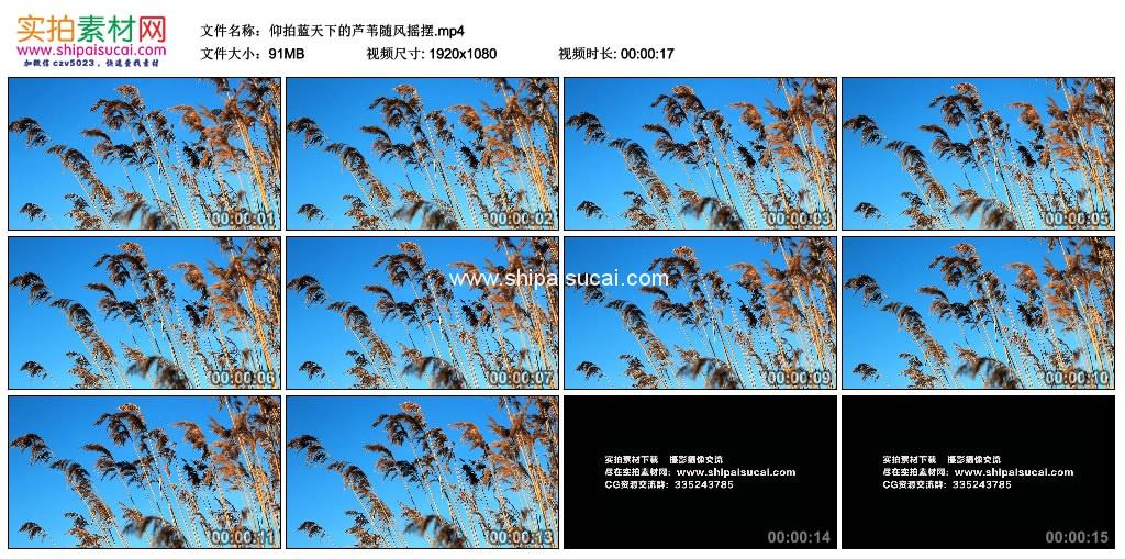 高清实拍视频素材丨仰拍蓝天下的芦苇随风摇摆 视频素材-第1张