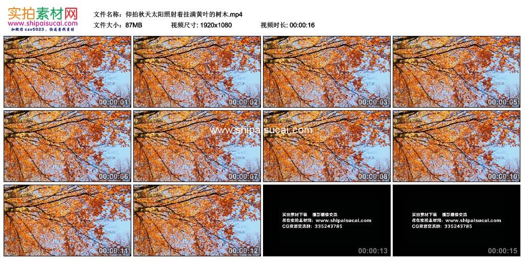 高清实拍视频素材丨仰拍秋天太阳照射着挂满黄叶的树木 视频素材-第1张