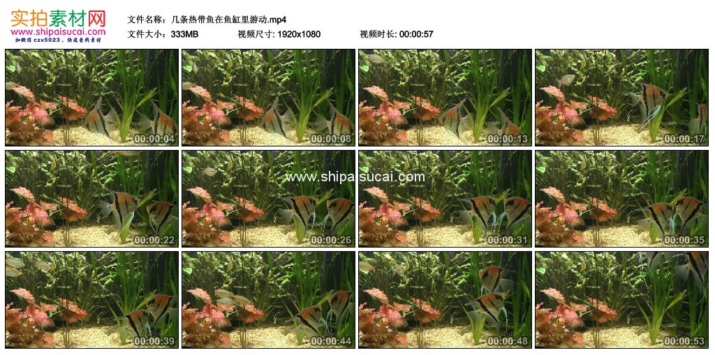 高清实拍视频素材丨几条热带鱼在鱼缸里游动 视频素材-第1张