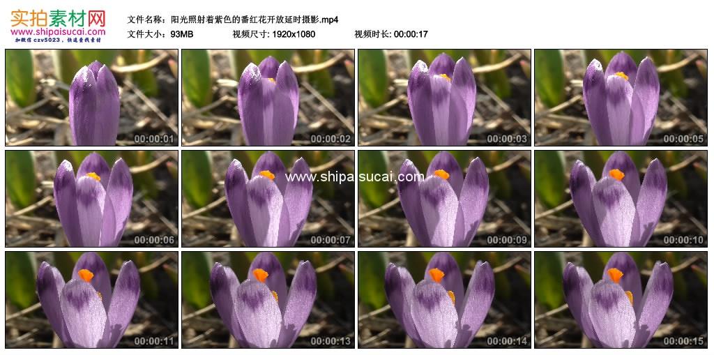高清实拍视频素材丨阳光照射着紫色的番红花开放延时摄影 视频素材-第1张