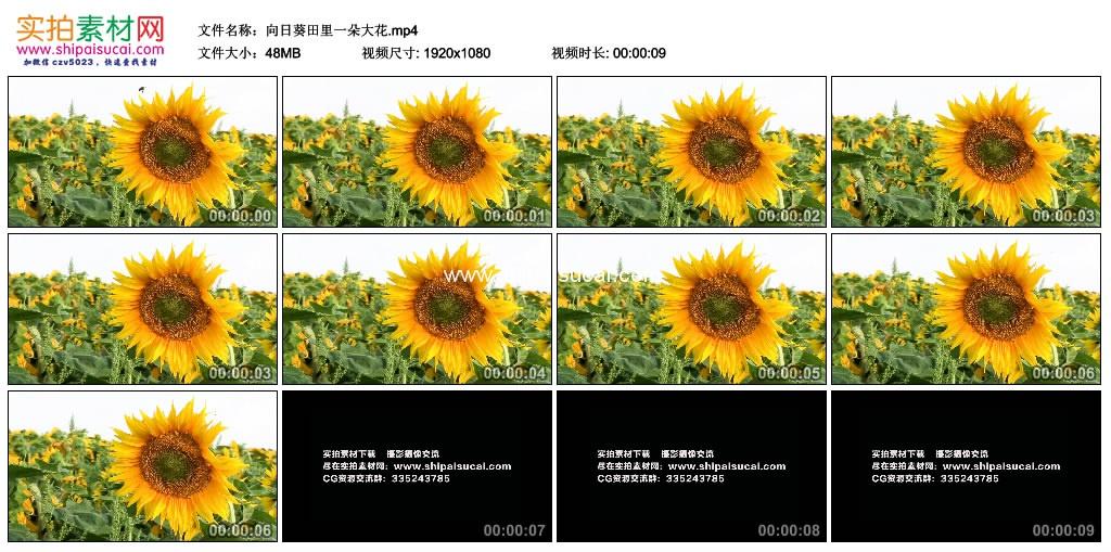 高清实拍视频素材丨向日葵田里一朵大花 视频素材-第1张