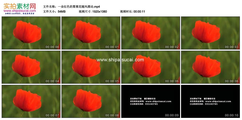 高清实拍视频素材丨一朵红色的罂粟花随风摆动 视频素材-第1张