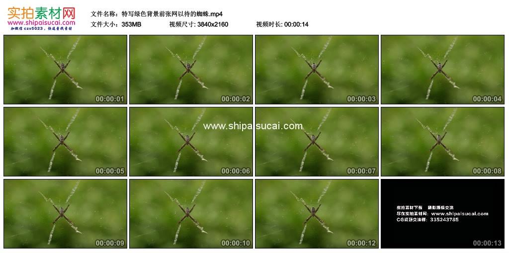 4K实拍视频素材丨特写绿色背景前张网以待的蜘蛛 4K视频-第1张