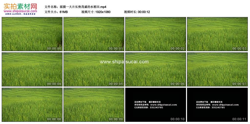 高清实拍视频素材丨摇摄一大片长势茂盛的水稻田 视频素材-第1张
