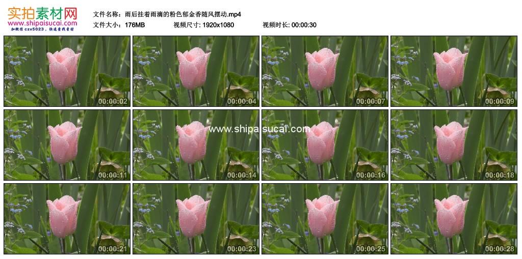 高清实拍视频素材丨雨后挂着雨滴的粉色郁金香随风摆动 视频素材-第1张