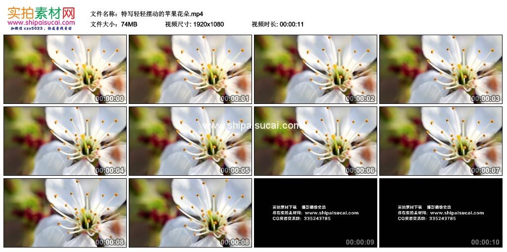 高清实拍视频素材丨特写轻轻摆动的苹果花朵 视频素材-第1张
