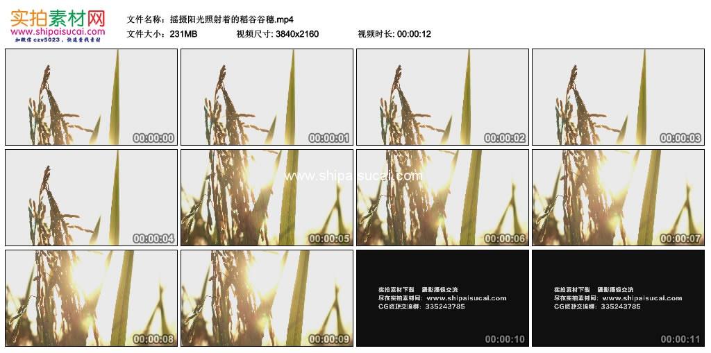 4K实拍视频素材丨摇摄阳光照射着的稻谷谷穗 4K视频-第1张