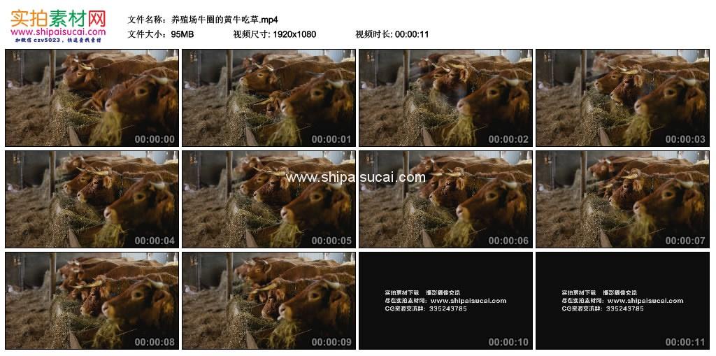 高清实拍视频素材丨养殖场牛圈的黄牛吃草 视频素材-第1张