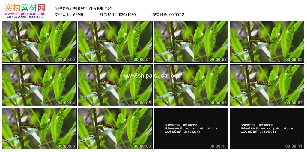 高清实拍视频素材丨啃着树叶的毛毛虫 视频素材-第1张