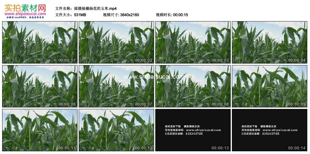 4K实拍视频素材丨摇摄抽穗扬花的玉米 4K视频-第1张