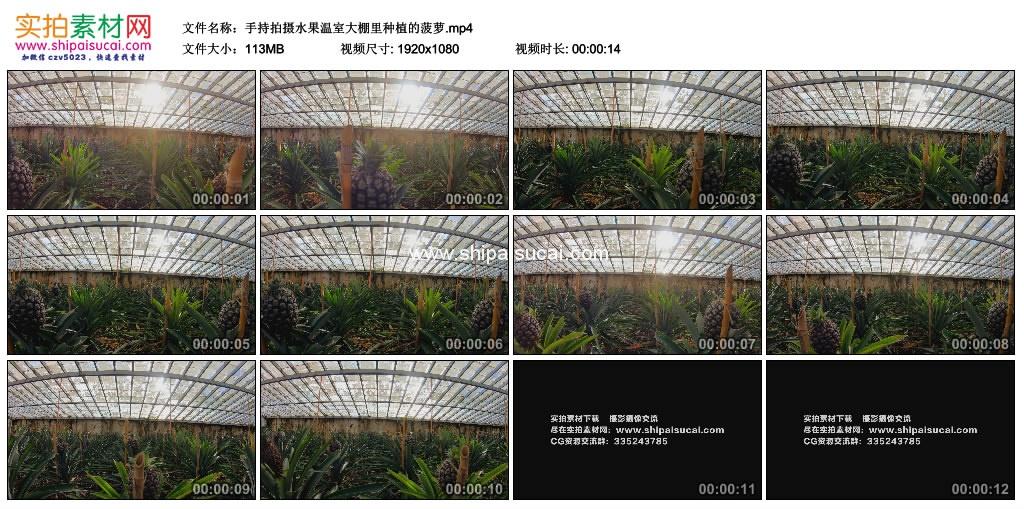 高清实拍视频素材丨手持拍摄水果温室大棚里种植的菠萝 视频素材-第1张